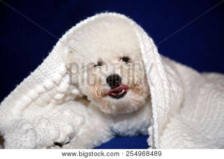 Dog under quilt. White dog under white baby blanket. white dog under white quilt on blue velvet. dog stays warm in winter.