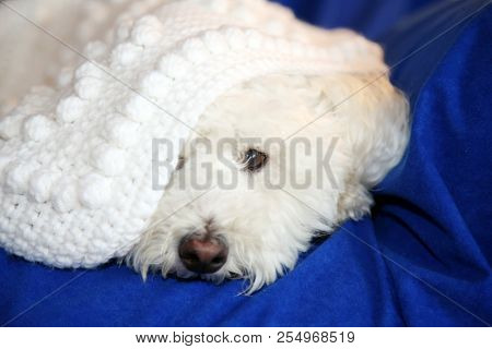 Dog under quilt. White dog under white baby blanket. white dog under white quilt on blue velvet. dog stays warm in winter.