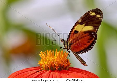 Colorful Butterfly Resting On Yellow And Orange Zinnia Flower With Blurred Green And White Backgroun