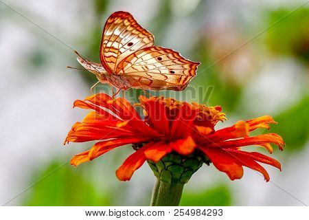 Closeup, Butterfly Facing Up On Yellow And Orange Zinnia Flower With Green And White Blurred Backgro