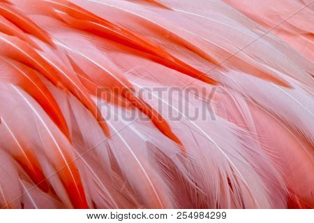 Closeup, Pink Flamingo Feathers, Texture, Soft, Beautiful, White, Red