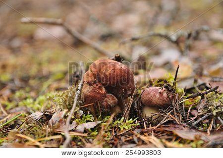 Cepe Mushroom