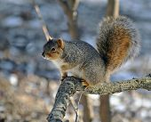 Fox squirrel posed on a tree branch poster
