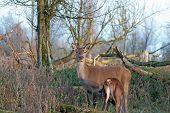 Wild Roe Deer nursing a fawn, Holland, Europe poster