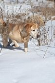 A Yellow Labrador Retriever tracks a scent in the snow. poster