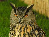 Head and upper-body of eagle-owl looking at camera. poster