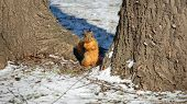 Squirrel standing on base of tree in the middle of winter poster