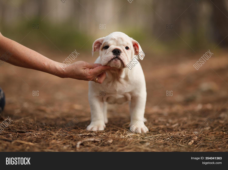Cute English Bulldog Image Photo Free Trial Bigstock