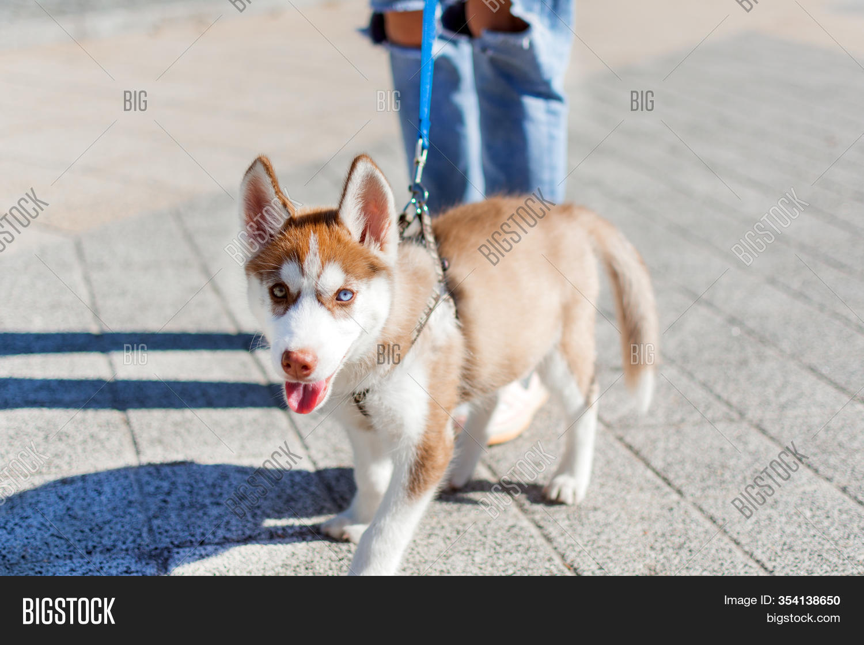 Husky Puppy Walking Image Photo Free Trial Bigstock
