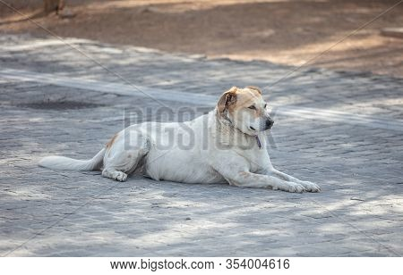 An Abandoned White Dog Is Getting Rest On An Old Stone Paved Footpath, Athens, Greece.