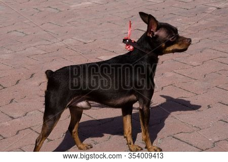 Russian Toy Terrier Stand On A White Background