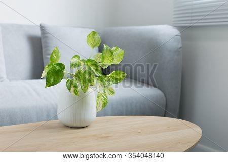Epipremnum Aureum Plant On Wooden Table In Living Room