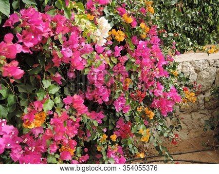 Blooming Bougainvillea.magenta Bougainvillea Flowers.bougainvillea Flowers As A Background.