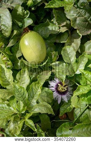 Passoin Fruit Growing On Passiflora Plant, Ingredient For Cocktails And Sweet Exotic Fruit Desserts