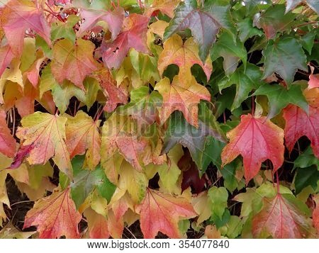 Boston Ivy, Also Japanese Or Grape Ivy, Woodbine Plant In Autumn Colours, Close Up