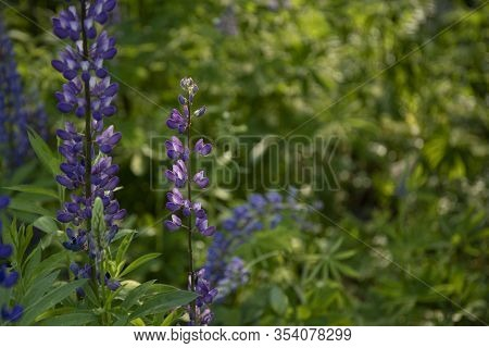 Blooming Lupine Flowers. Blue Lupin In Green Meadow. Artistic Nature Image