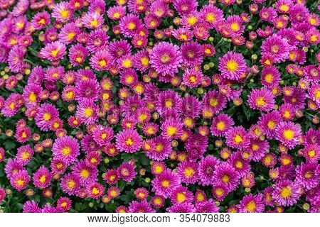 Bush Of Magenta Magenta Chrysanthemum Blossom, Top View. Bright Pink Bouquet Of Natural Natural Bloo