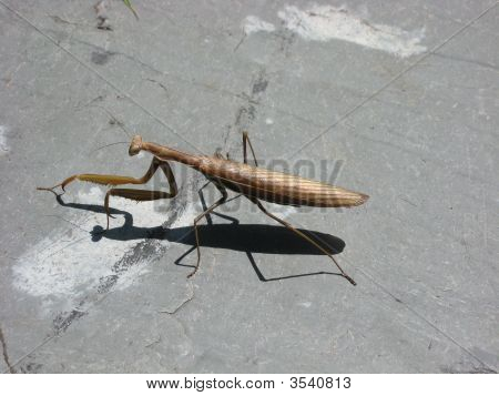 Preying Mantis and shadow walking acroos slate in afternoon sun. poster