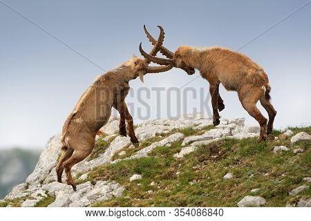 Alpine Ibex - Capra Ibex Pasturing And Mating And Dueling In Slovenian Alps. Typical Horned Animal O