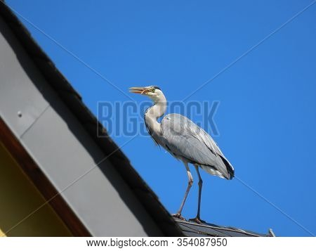Grey Heron Standing On A Roof And Eating Goldfish It Stole From Decorative Pond. Sunny Summer Day Wi