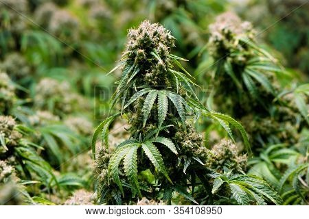 Mature Indoor Medical Recreational Marijuana Cannabis Industry Plant With Large Developed Cola Flowe