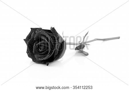 Withering Black Roses Isolated On White Background