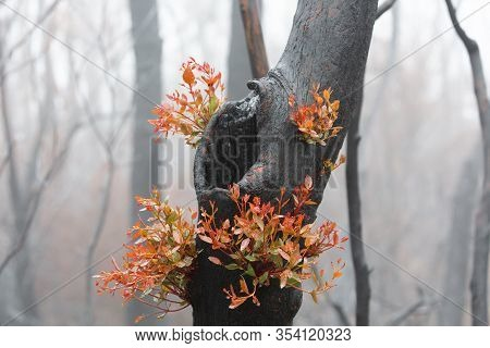 A Burnt Tree Flourishing With Bright New Fresh Growth After Bush Fires On A Foggy Morning