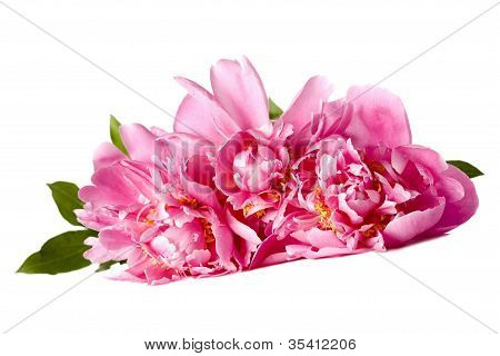 Three Pink Peonies With Drops Of Water On A White Background