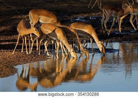 Impala antelopes (Aepyceros melampus) drinking water in late afternoon light, Kruger National Park, South Africa