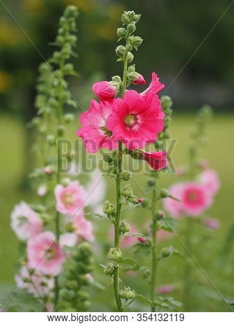 Hardy Annual Or Perennial Althaea Include Hollyhock, Marsh Mallow Mallards, And Sweet Weed, Pink Flo