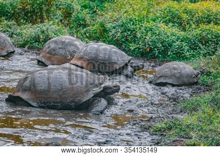 Galapagos Giant Tortoise on Santa Cruz Island in Galapagos Islands. Group of many Galapagos tortoises cooling of in water hole. Amazing animals, nature and wildlife image from Galapagos highlands.