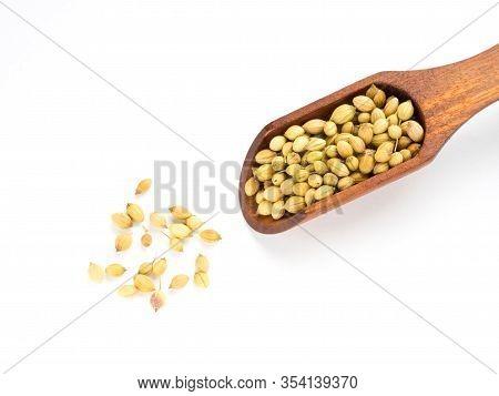 Spice Coriander (coriandrum Sativum) Seeds In Wooden Scoop Isolated On White Background. Diet And We