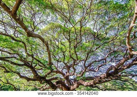 Scenery Of Giant Rain Tree (chamchuri Tree) Or Monkey Pod Tree With Green Leaves At Kanchanaburi. To