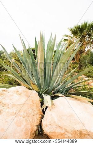Agave Plant between Two Stones. Palm Tree on Background.