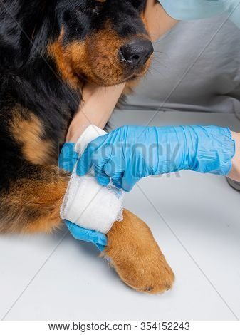 The Vet Bandages The Wound On The Dogs Paw. Treatment Dogs Have The Vet.