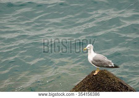 Yellow-legged Gull Larus Michahellis Atlantis On A Tetrapod. Las Palmas De Gran Canaria. Gran Canari