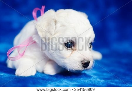 Small Bichon Frise Puppy With A Pink Bow Laying On A Blue Blanket. Studio Shot