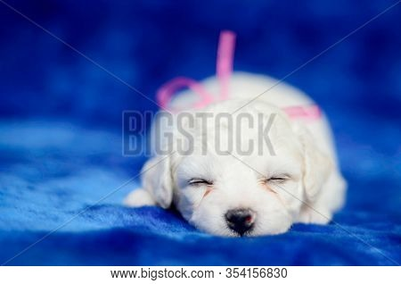 Adorable Bichon Frise Puppy With A Pink Bow Sleeping On A Blue Blanket. Studio Shot, Shallow Depth O