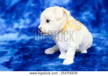 Cute Bichon Frise Puppy On A Blue Backgroud. Studio Shot.