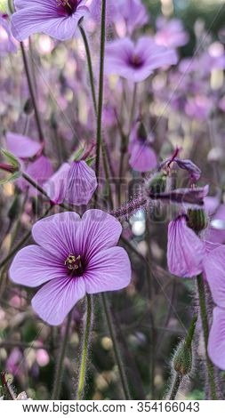 Geranium Maderense, Known As Giant Herb-robert Or The Madeira Cranesbill, Is A Species Of Flowering