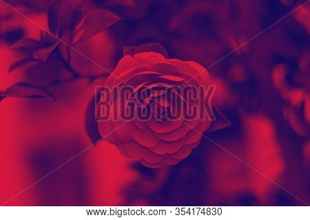 Abstract Illuminated Duo Tone Flower Background, Coloroful Moody Camelia Flower, Hipster Red And Blu