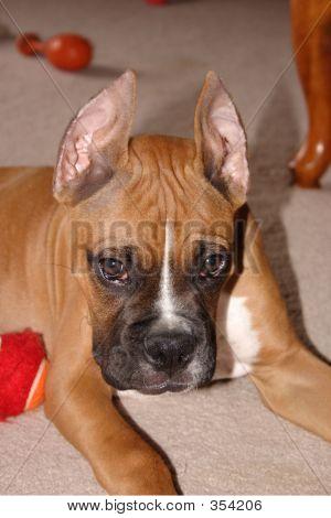 Cute Boxer