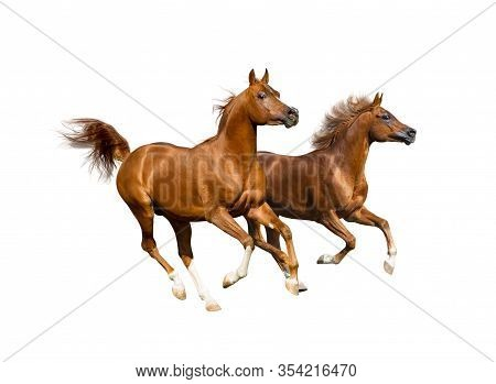 Beautiful Arabian Stallions Isolated Over A White Background. Chestnut Arabian Horses Running.