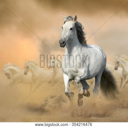Andalusian Stallion In Prairies. Running White Horse On A Wild. Wild White Horses In Sunset, Gallopi
