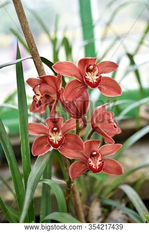 Cymbidium Orchid Red Flowers Blooming In The Garden. Macro. Green Leaves Background.