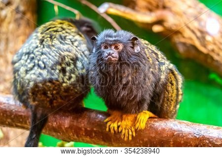 Gold Handed Tamarin Monkey (saguinus Midas) Is Resting On The Tree Branch. Detail Look To Primate An