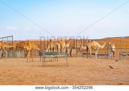 Group Of Arabian Camel Or Dromedary In Sand Desert Safari In Summer Season With Blue Sky Background