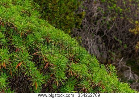 Exotic Spurge Plants Growing In The Mediterranean Region With The Alps Mountains In The Background