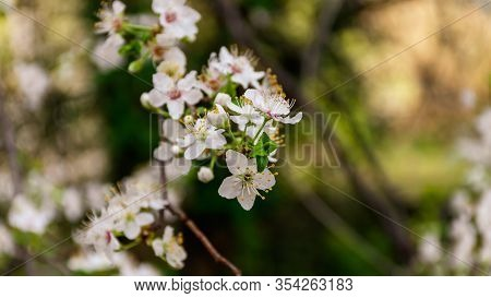 A Close-up Shot Of The Flowers Of A Blooming Prunus Spinosa (blackthorn Or Sloe) Tree