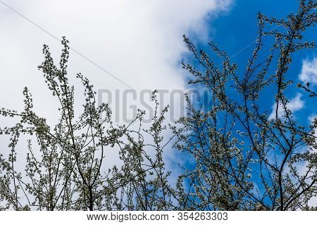 The Spring White Flowers Of A Blooming Prunus Spinosa (blackthorn Or Sloe) Tree Against The Blue Sky